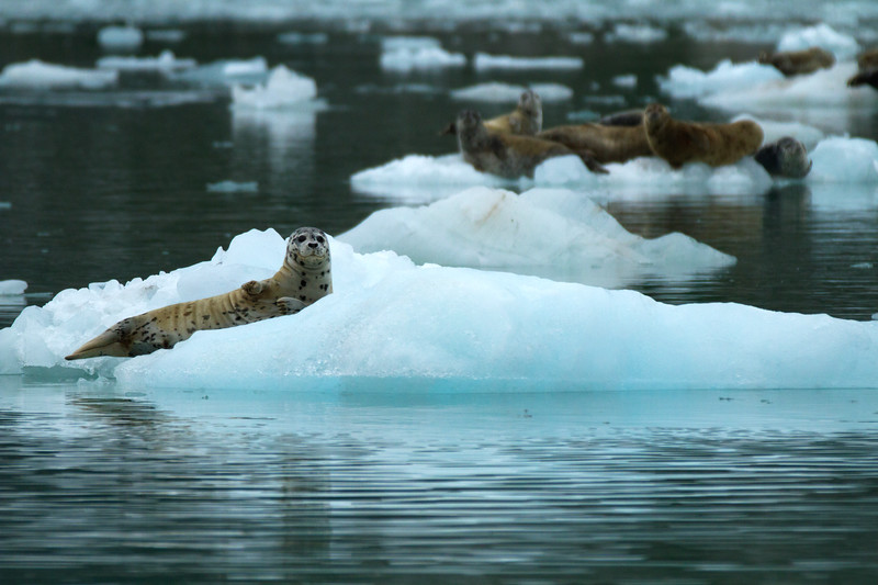 Harbor Seals in Northwestern Fjord, Kenai Fjords National Park, Alaska