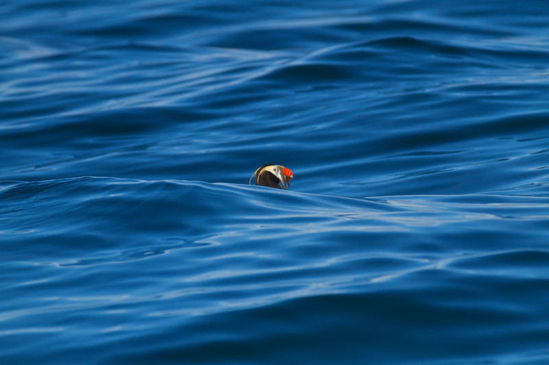 Puffin on Resurrection Bay, Seward, Alaska