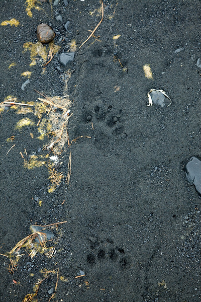 Bear paw prints at beach by Aialik Glacier.