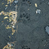 Bear paw prints at beach by Aialik Glacier.