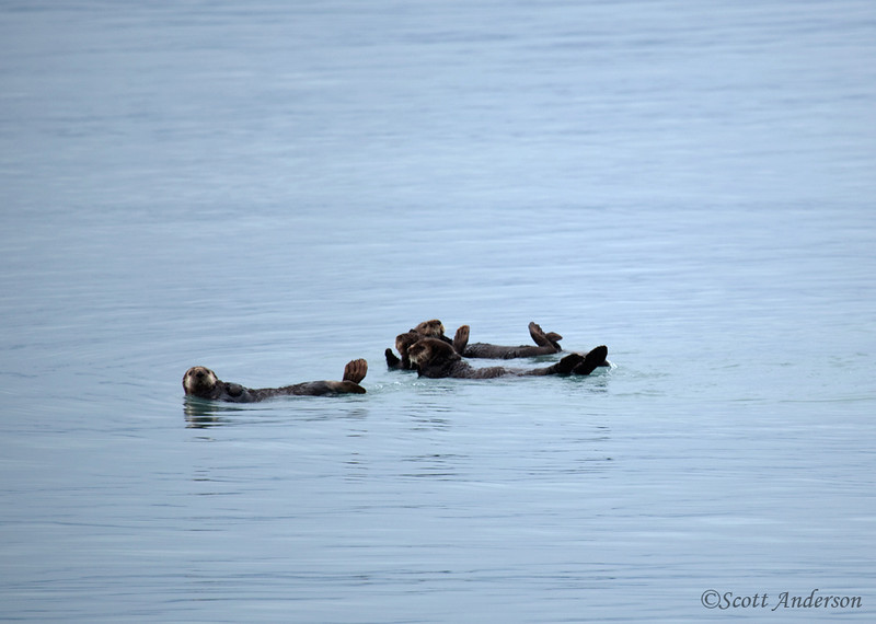 We booked a private 3 day/2night cruise.  The sea otters were floating just outside Seward harbor.