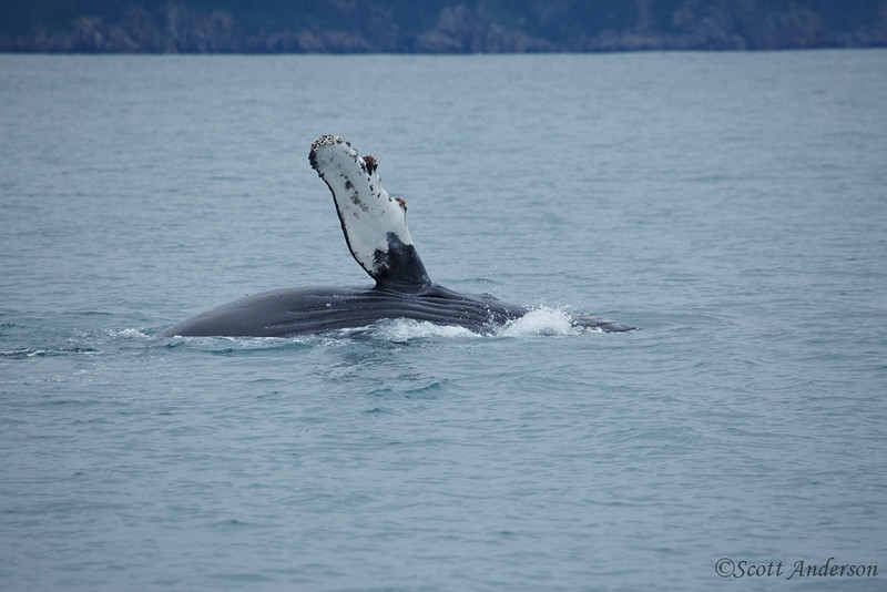This humpback whale and her calf hung out by our boat for a long time, just playing around, slapping her tail and rolling over.