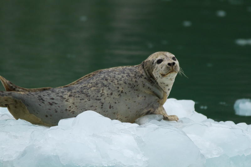 Harbor Seal in Northwestern Fjord, Kenai Fjords National Park, Alaska