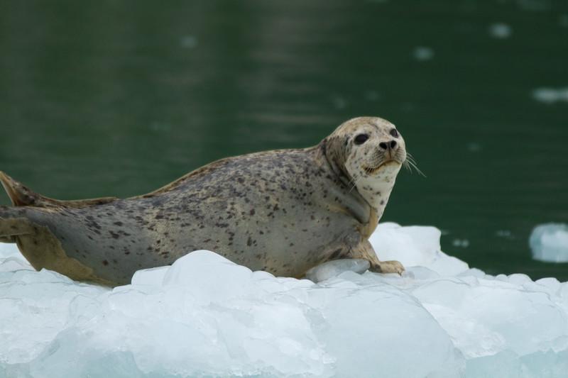 Harbor Seal in Northwestern Fjord, Kenai Fjords National Park, Alaska