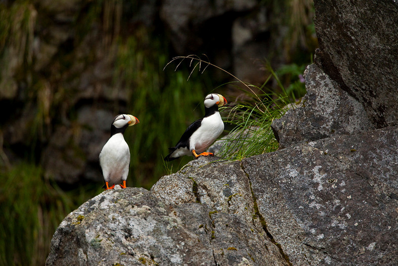 Puffins at Chiswell Islands.