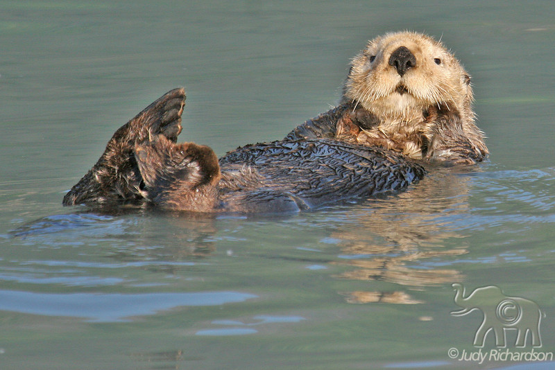 Sea Otter watching the photographers