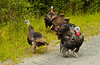 A roadside  flock of wild turkeys in the Kenai peninsula, Alaska, USA, America.