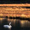 Swan on Swan Lake