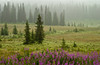 A misty landscape photograph of fireweed wildflowers and a pine forest near Homer, Alaska, USA, America.