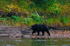 Black bears frequent the shores of the river, but no grizzly bears were seen.
