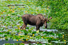 AK-2016-0638b moose in Snow River marsh
