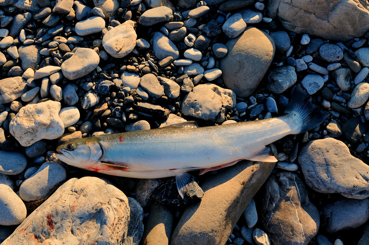 This arctic char from the Kongakut River was our breakfast the next morning.