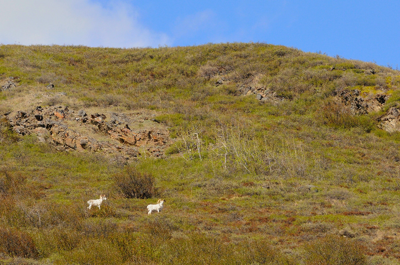 Dall's sheep rams on the tundra hillside above the north side of the river.