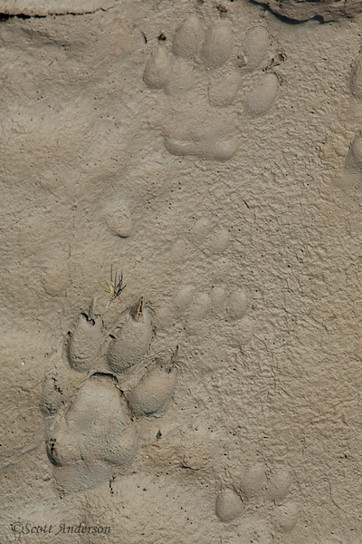 Bear, wolf and fox paw prints.