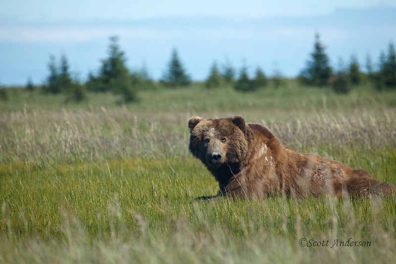 This is the big alpha male of the area.  He's the one bear that the guides will always back down from.