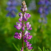 These beautiful pink, blue and purple lupine colored the landscape at Lake Clark.