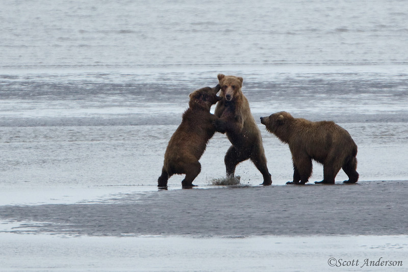 Juvenile bears play fighting.