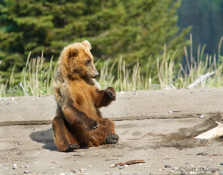 As cute as this bear looks, he charged at us.