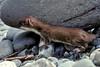 AK-1988-s086a Lake Ck weasel