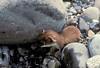 AK-1988-s085a Lake Ck weasel