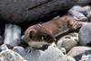 AK-1988-s088a Lake Ck weasel
