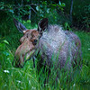 We saw a moose and her 2 calves on the side of the road in Matanuska.  This was around 11 p.m.