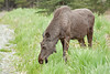 Young moose bull outside Soldotna on road from Homer, Alaska