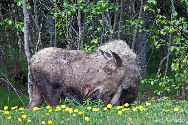 Moose by Exit Glacier Road~Seward, Alaska