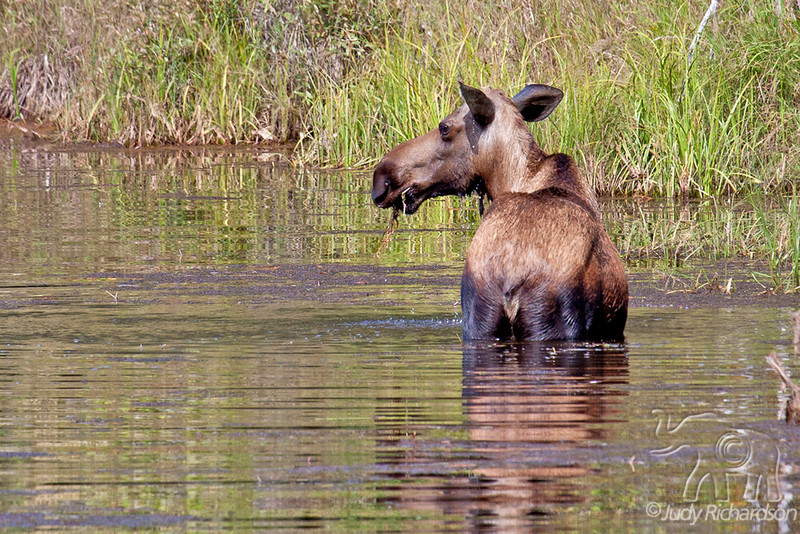 Moose eating grasses under water on way to Chena Hot Springs, Alaska