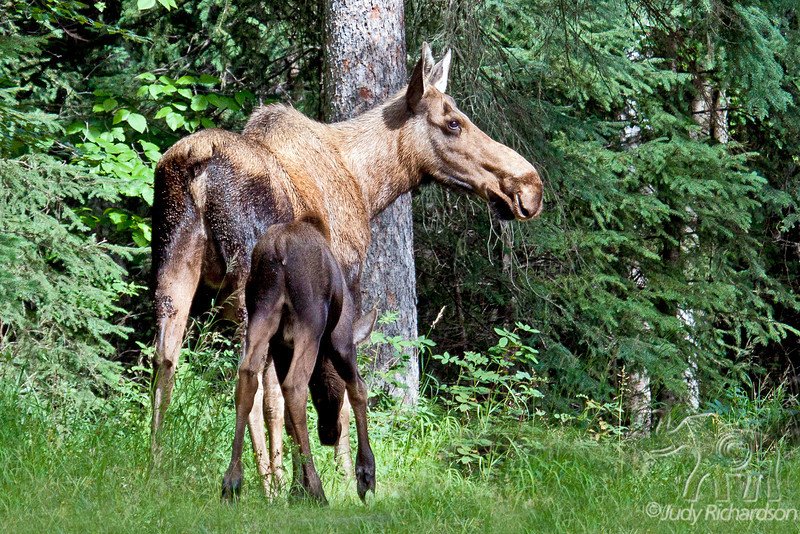 Moose Cow and calf on road to Chena Hot Springs