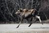 Moose in mid air