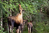 Moose Cow and 2 calves eating leaves~Road to Chena Hot Springs