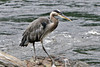 Great Blue Heron at Neet's Bay ~ Misty Fjords National Monument Wilderness