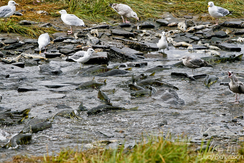 Salmon struggling upstream with Gulls feasting