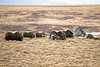 Muskox herd in area of Nome