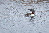 Red-throated Loon - Nome
