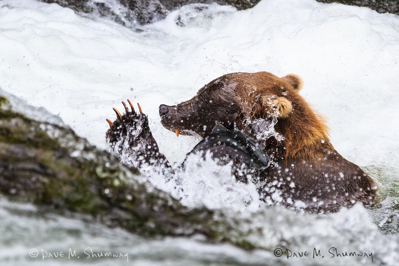 A spawning Steelhead Trout (Rainbow Trout - Oncorhynchus mykiss) narrowly escapes the teeth and claws of Sow Grizzly Bear who is fishing the Russian River, the boarder between Chugach National Forest and Kenai National Wildlife Refuge in Alaska. Captured with a Canon 5D III and 70-200/2.8L IS II + 1.4TC III in aperture priority mode with an exposure bias of + 5/3 at ISO1600, f/4.5, and 1/1000th of a second. The camera was handheld.