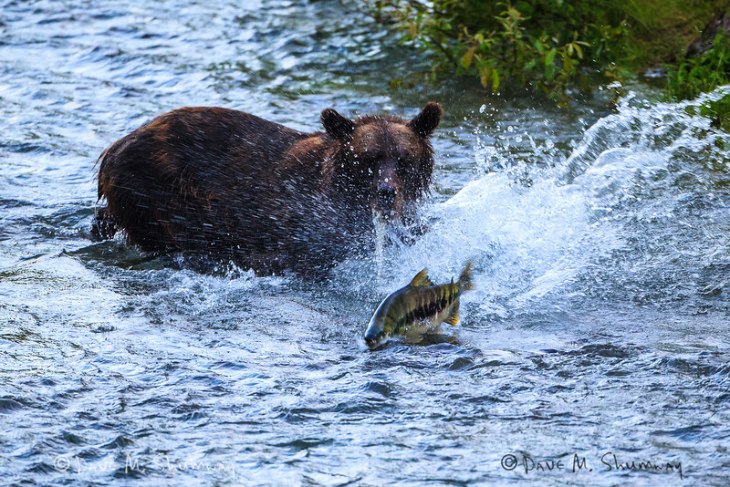 A Grizzly Bear (Ursus arctos horribilis) hunts for fish, as one races away, along Fish Creek in the Tongass National Forest near Hyder, Alaska. Captured with a Canon 5D III and 500/4.0L IS in manual mode at ISO1600, f/4.0, and 1/200th of a second. The camera was mounted on a Gitzo 3541 XLS with an Arca-Swiss Z1sp ballhead and a Wimberly Sidekick.
