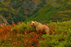Grizzly bear hunting for small prey in the willows and fireweed on the bench above camp.