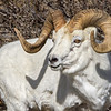Savage Creek Dall Sheep