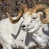 Savage Creek Dall Sheep