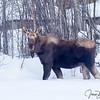 Big Bull in the Garden