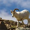 Dall Sheep / Big Sky