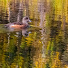 American Wigeon Duck