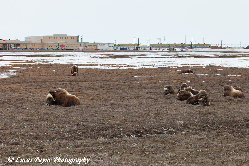Muskox Herd on the tundra in front the the Main Constructoin Camp (MCC) in the Prudhoe Bay Oil Field, North Slope, Arctic Alaska<br /> May 26, 2012