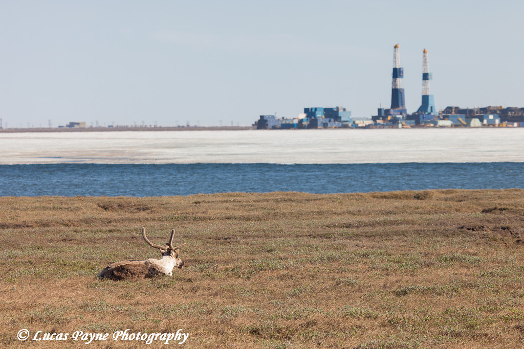 Caribou laying on the tundra in Deadhorse with Lake Colleen and two oil rigs in the background, North Slope, Arctic Alaska<br /> <br /> June 21, 2012