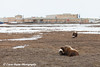 Two muskox on the tundra in front the the Main Constructoin Camp (MCC) in the Prudhoe Bay Oil Field, North Slope, Arctic Alaska<br /> May 26, 2012
