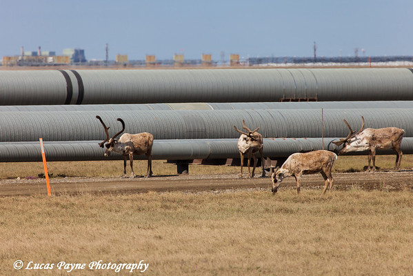 Caribou standing along pipelines in the Prudhoe Bay Oil Field, North Slope, Arctic Alaska<br /> <br /> June 23, 2012