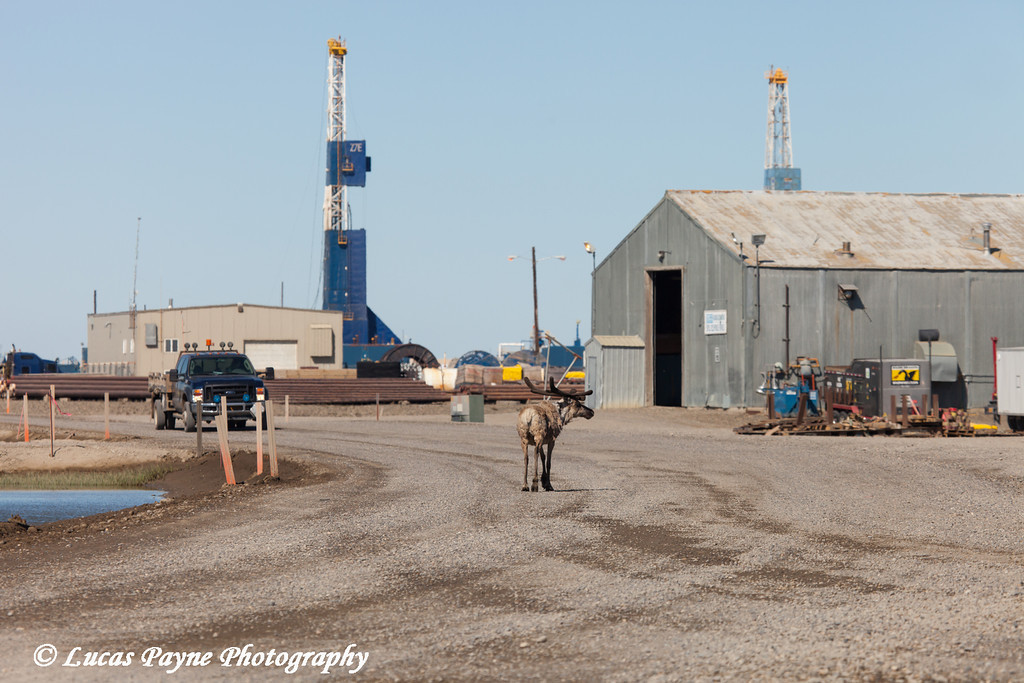 Caribou standing in the middle of the road in Deadhorse delaying traffic with Nabors Oil Rig Z7E in the background, North Slope, Prudhoe Bay Oil Field, Arctic Alaska<br /> <br /> June 21, 2012