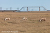 Three caribou grazing on the tundra with an oil pipeline in the background in the Prudhoe Bay Oil Field, North Slope, Arctic Alaska<br /> <br /> June 21, 2012